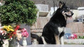 Murió Capitán, el perro que visitaba la tumba de su amo - Crédito: La Voz