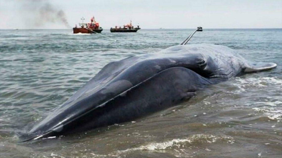 Macabro: rayaron y se sacaron fotos sobre una ballena varada en Chile