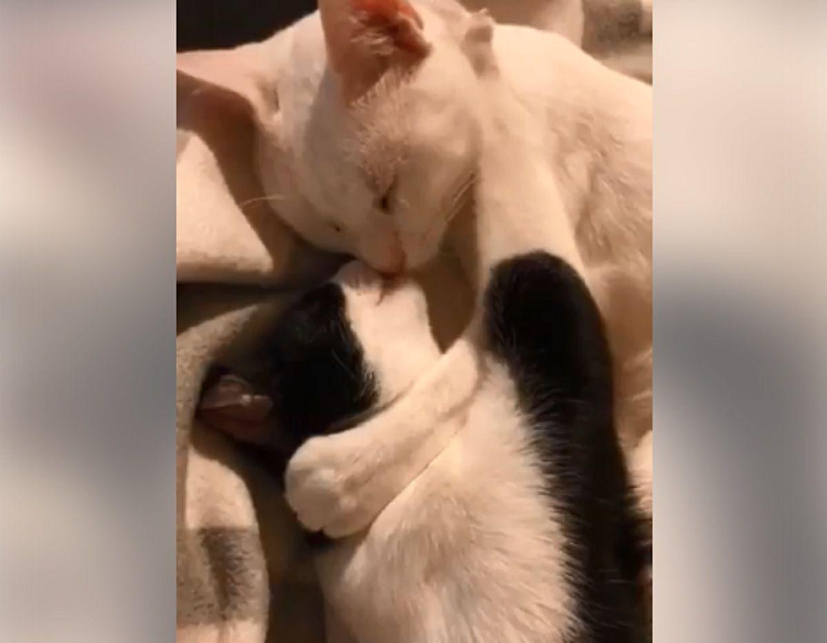 VIDEO: Dos gatitos que se abrazan y besan hicieron estallar las redes