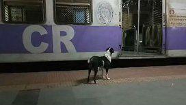 Como Hachiko, una perra espera siempre el mismo tren cada noche a las 23