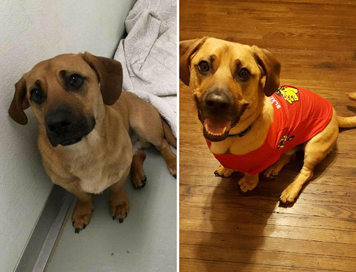 El impresionante antes y después de estos perros que fueron adoptados
