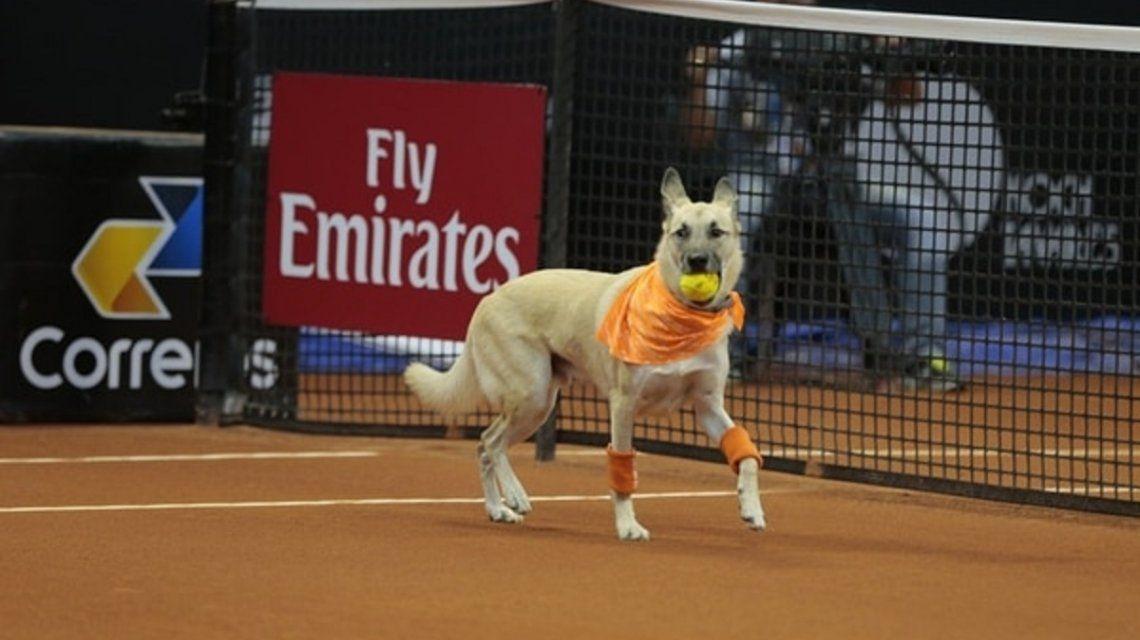 Vuelven los perros alcanzapelotas a las canchas de tenis