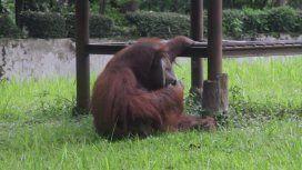El orangután de 22 años fuma como un profesional