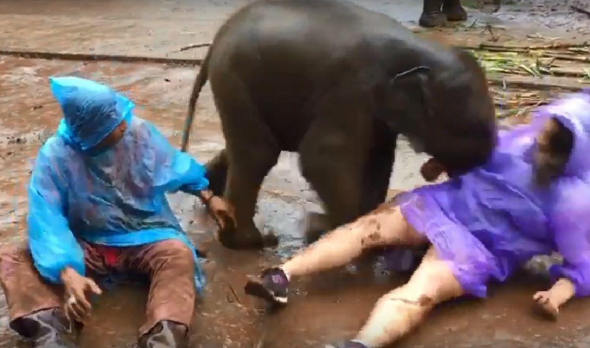 Un elefante bebé se acostó sobre una turista