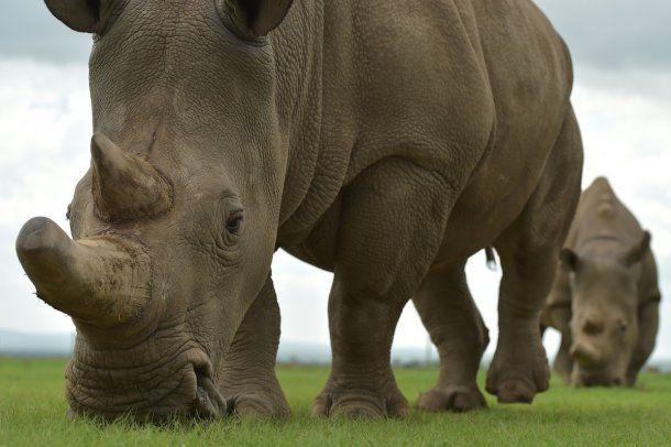 <div><div>Fatu y Najin, las dos hembras de rinoceronte blanco que quedan vivas en todo el planeta<div><div><br></div></div></div></div><div><div data-adtype=
