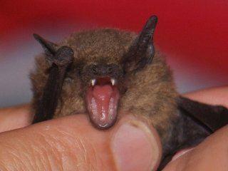 Murciélagos en peligro