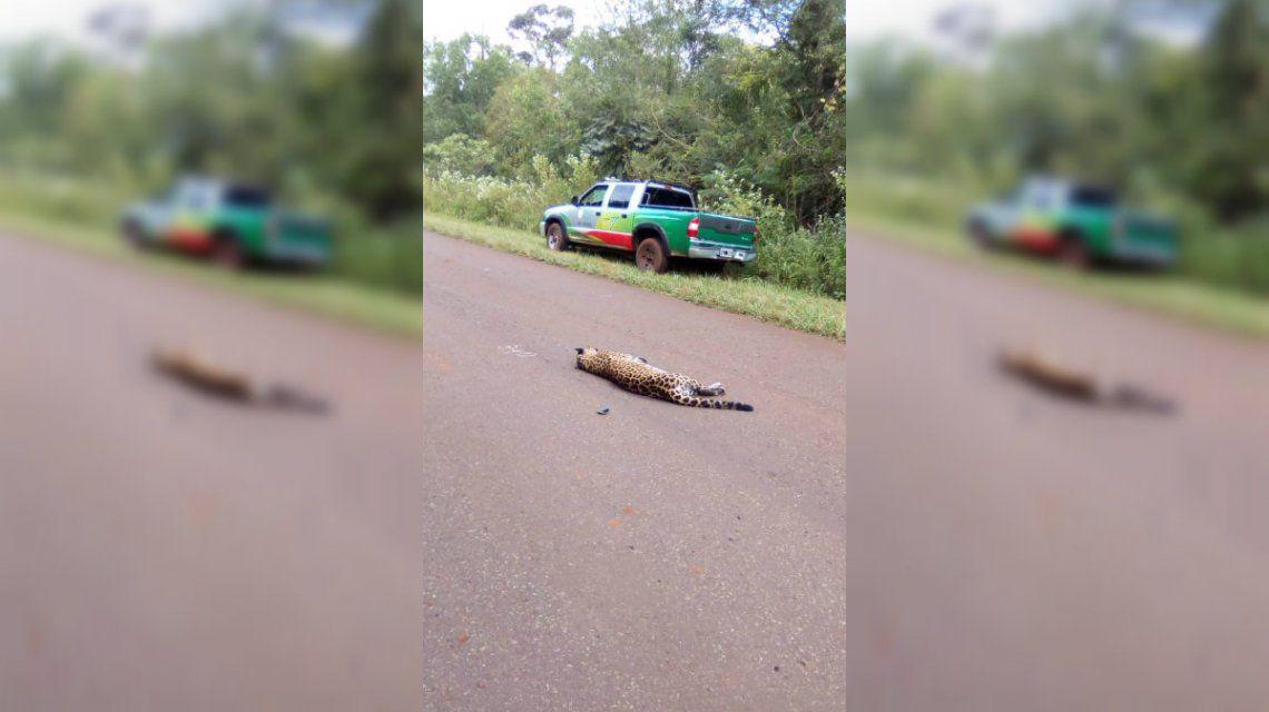 El hombre se llevó puesta a la yaguareté porque iba a una velocidad de 100 km/h