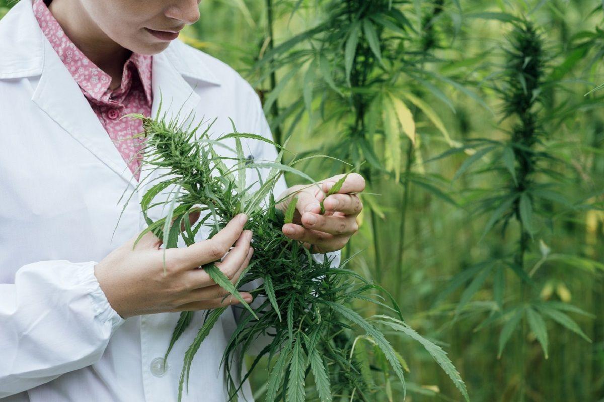 ¿Cuáles son los requisitos para la siembra y cultivo de marihuana en la Argentina?