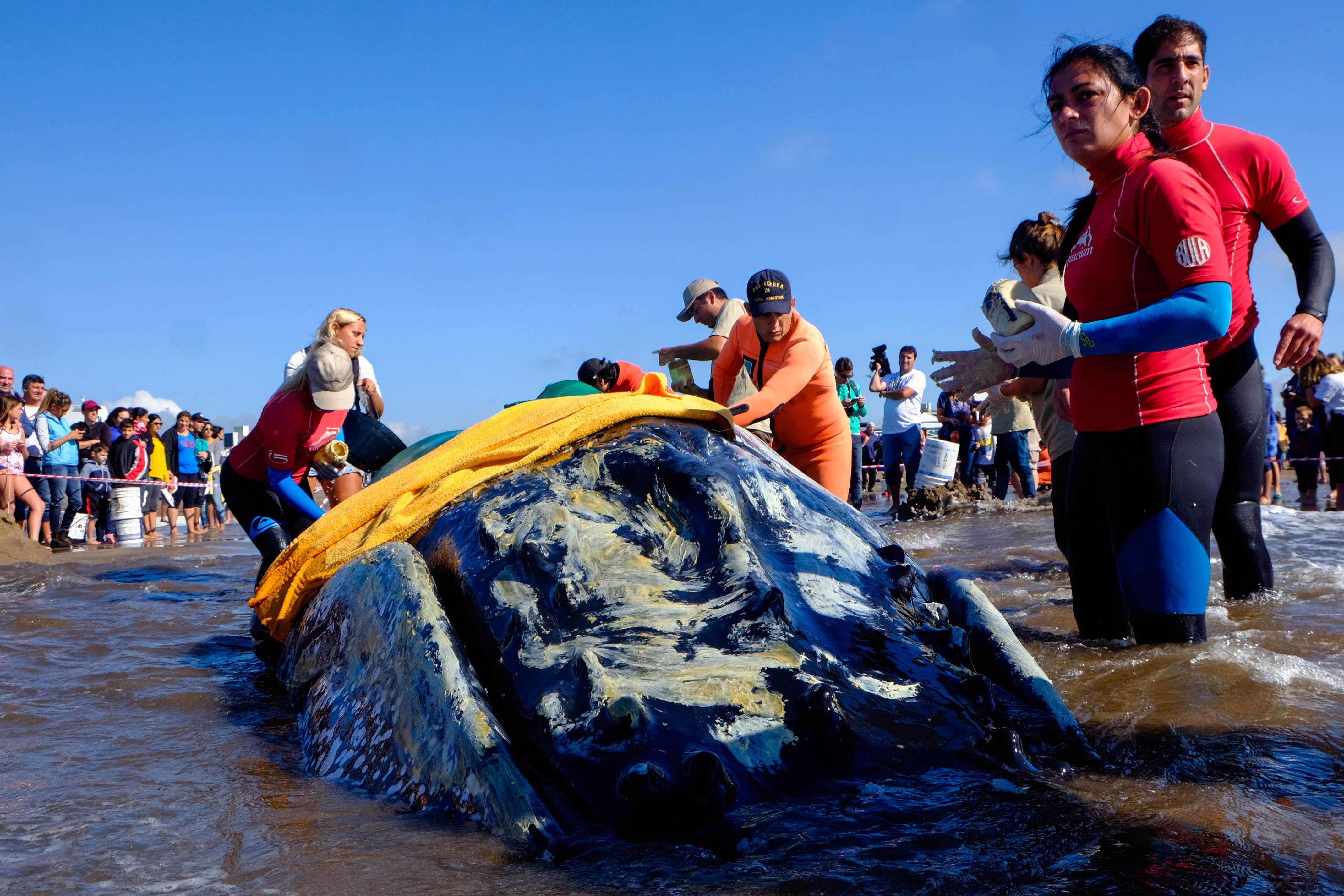 Mar del Plata: intentan salvar a una ballena encallada en la playa de Punta Mogotes