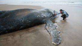 Cuenta regresiva: usarán un barco para intentar devolver al mar a la ballena encallada