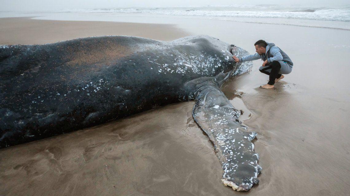 Mar del Plata: usarán un barco para intentar devolver al mar a la ballena encallada en la playa