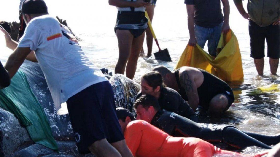 Cientos de vecinos intentan devolver al mar a la ballena encallada