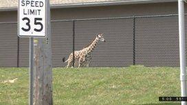 ¡Libertad! Una jirafa bebé escapó de un zoológico y revolucionó la ciudad