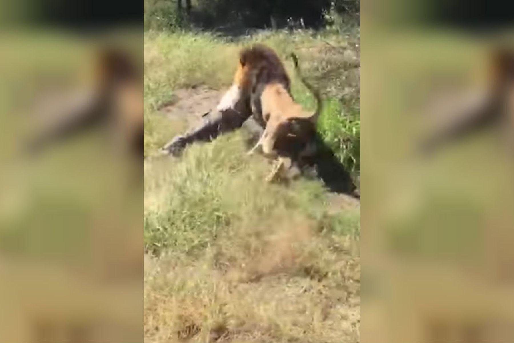 ¡Estremecedor! Un león atacó al dueño de un safari frente a turistas