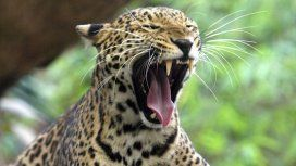Un leopardo como éste devoró a un niño de 3 años