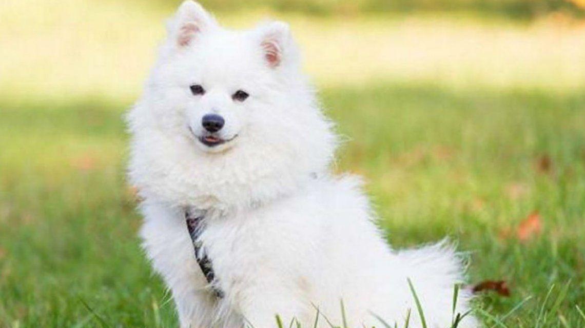 Le vendieron un perro pero resultó ser un lobo