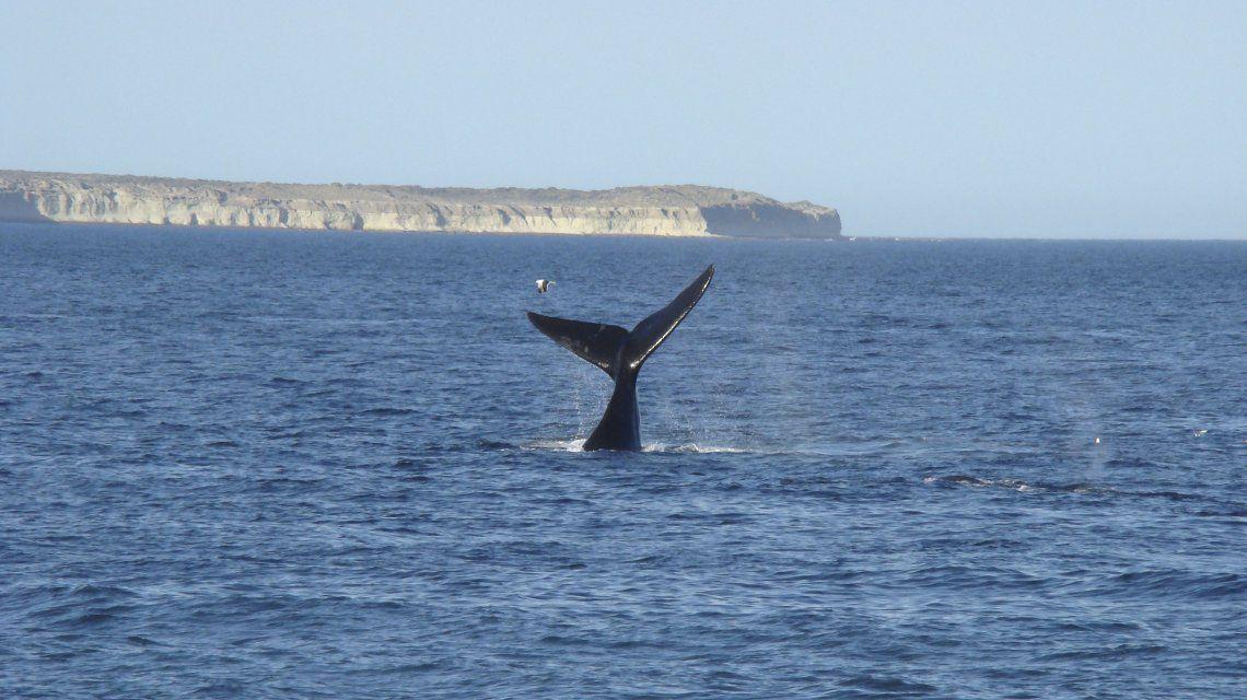 Empezaron a llegar las primeras ballenas a la Península Valdés