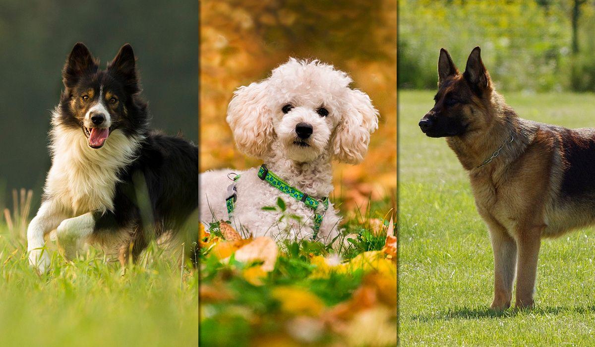 Estas son las tres razas más inteligentes según un estudio