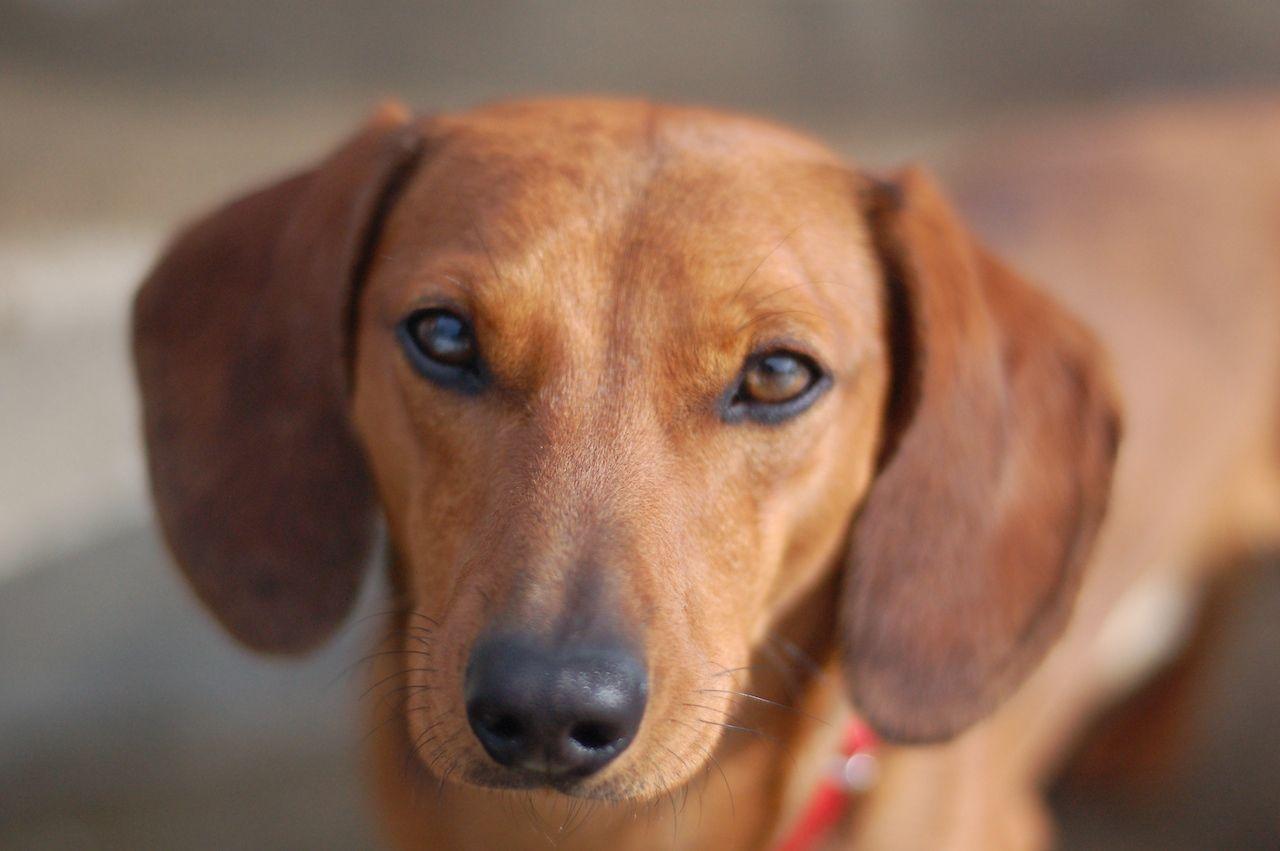 Se cree que algunos de los perros eran mezcla de salchicha y otras razas