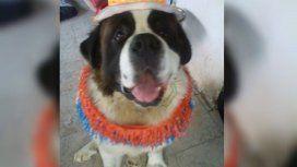 Mandó a su San Bernardo a bañar a la veterinaria y se lo devolvieron muerto