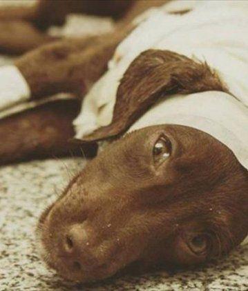 El cachorro Chocolate agonizó casi ocho días