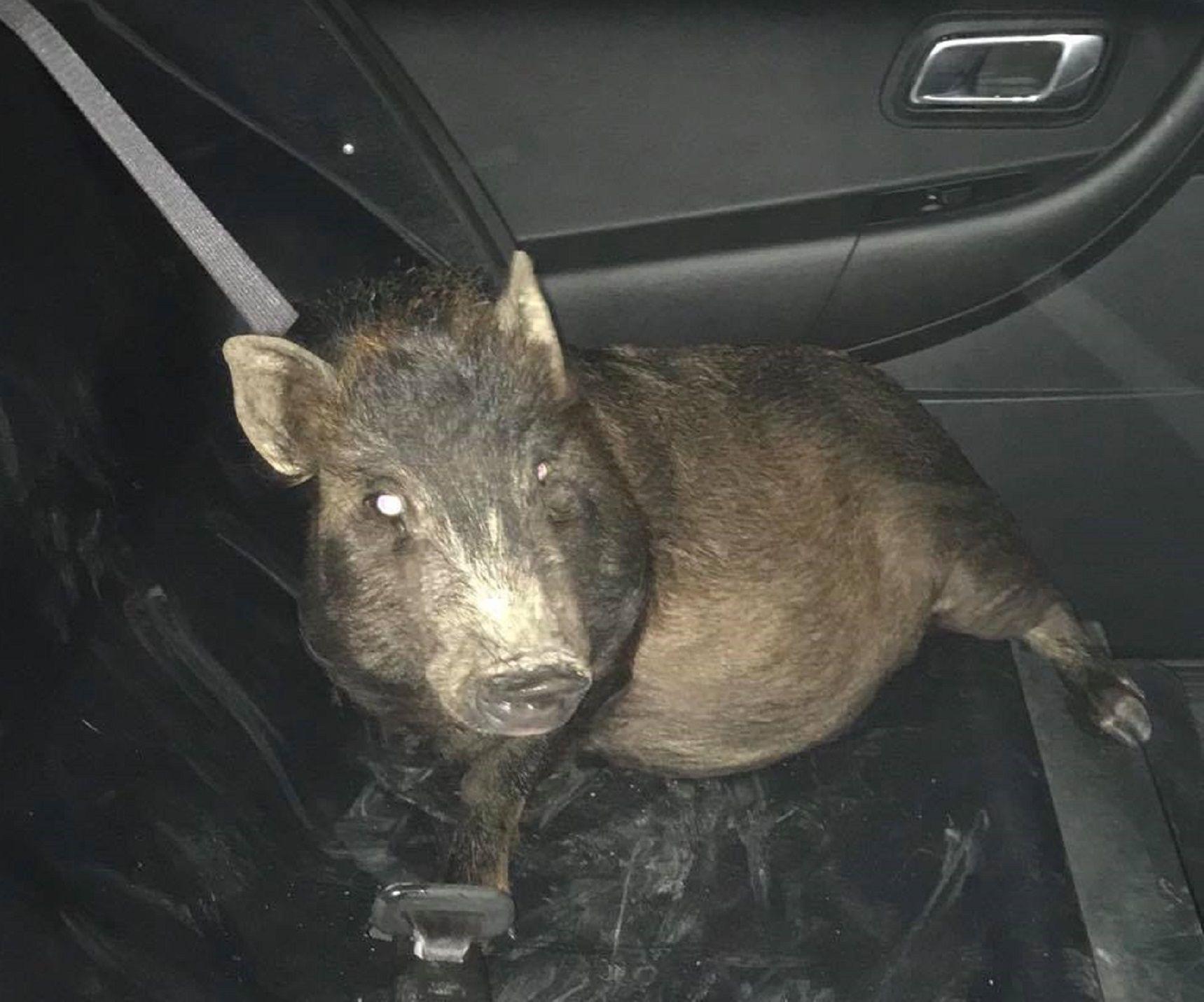 No sé qué hacer: el pedido de auxilio de un hombre porque un cerdo lo perseguía