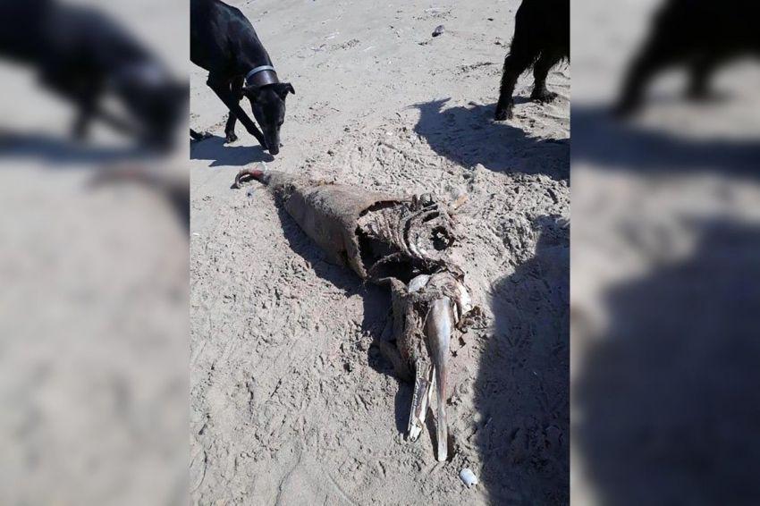 Este es el animal que encontraron en la costa de Gales