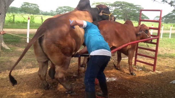Argentina exportará semen bovino a Kenia