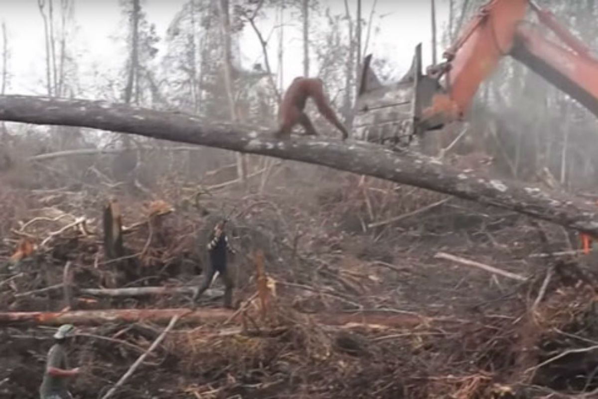 El orangután que peleó contra una excavadora