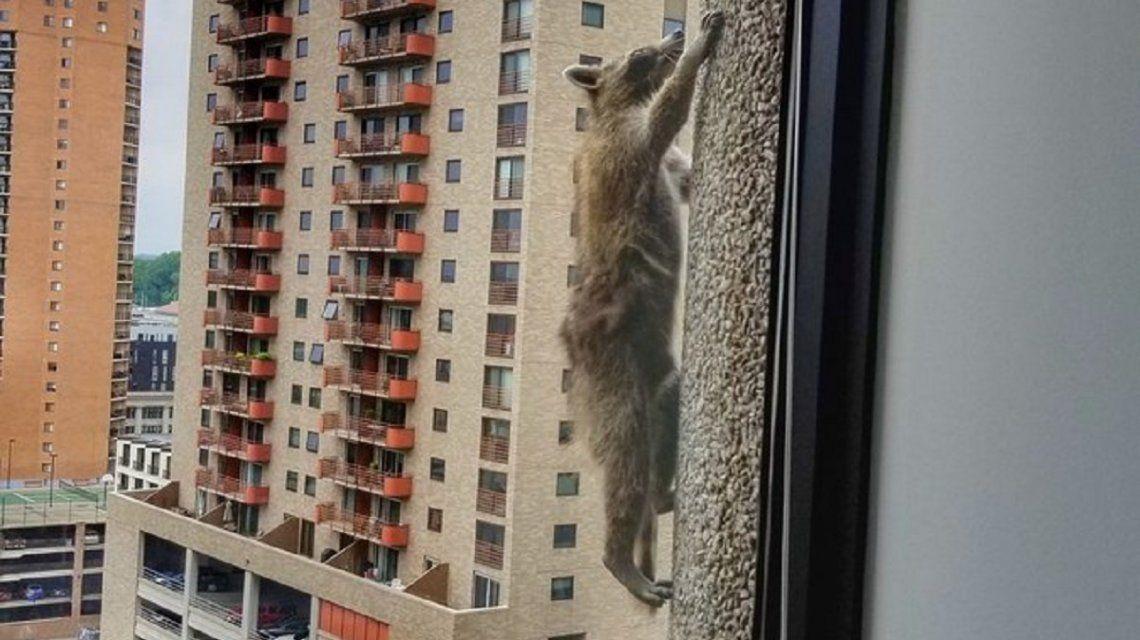 Un mapache trepó 23 pisos - Crédito:@Johnson88Ben