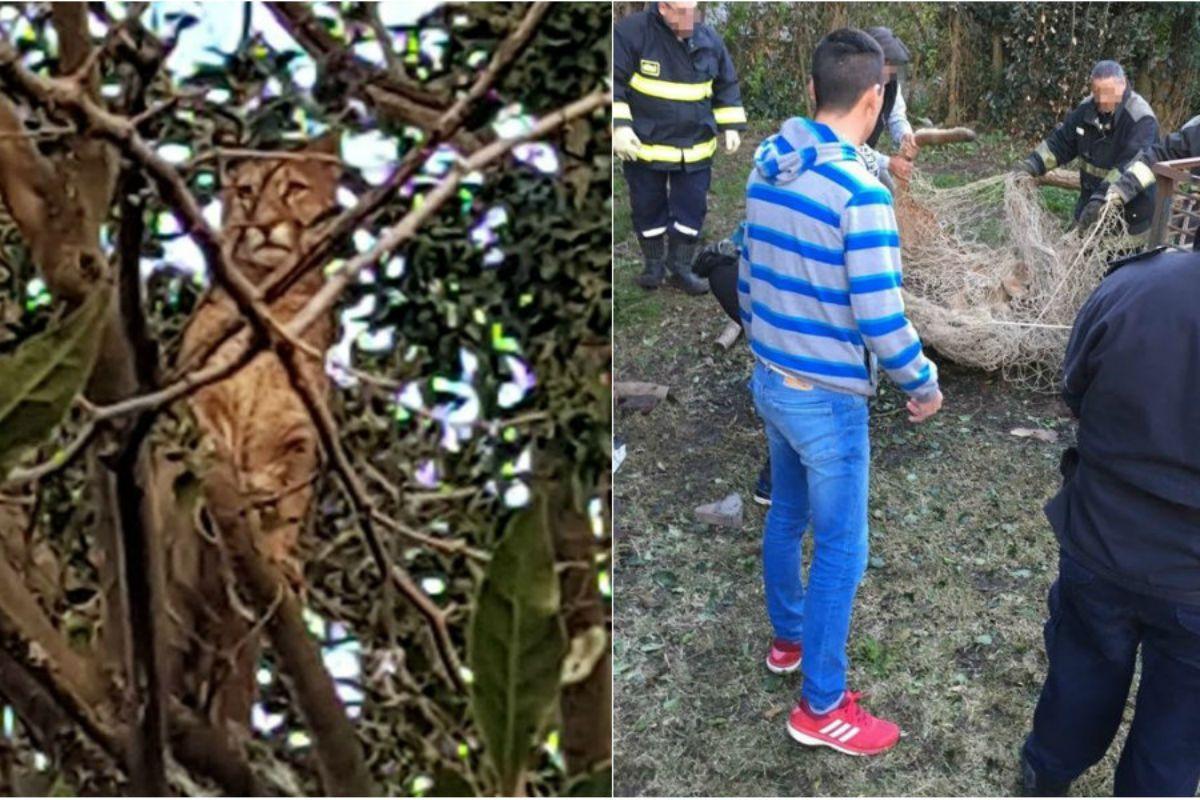 Así capturaron al puma perdido