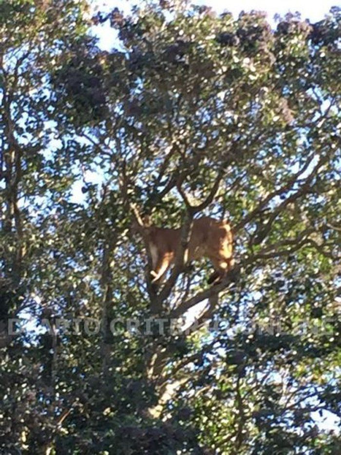 Temor en Maipú: atraparon a un puma perdido arriba de un árbol