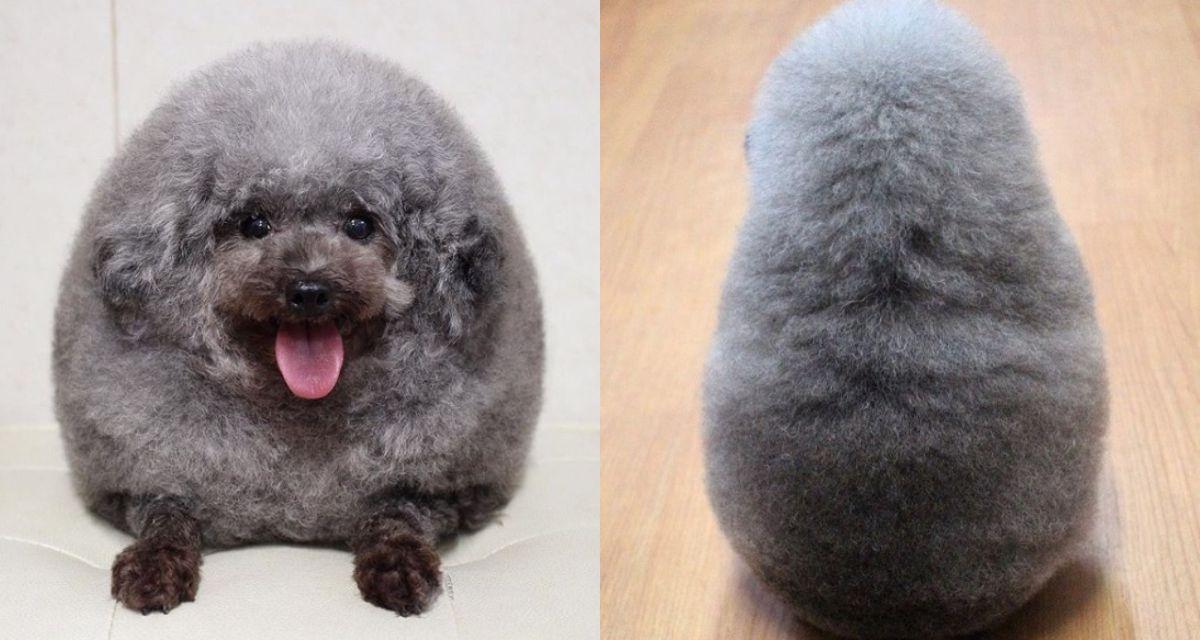 Llevaron a su perro a la peluquería y se viralizó por su look