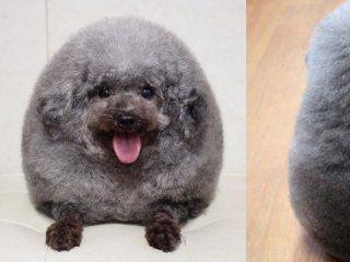 llevaron a su perro a la peluqueria y se viralizo por su look
