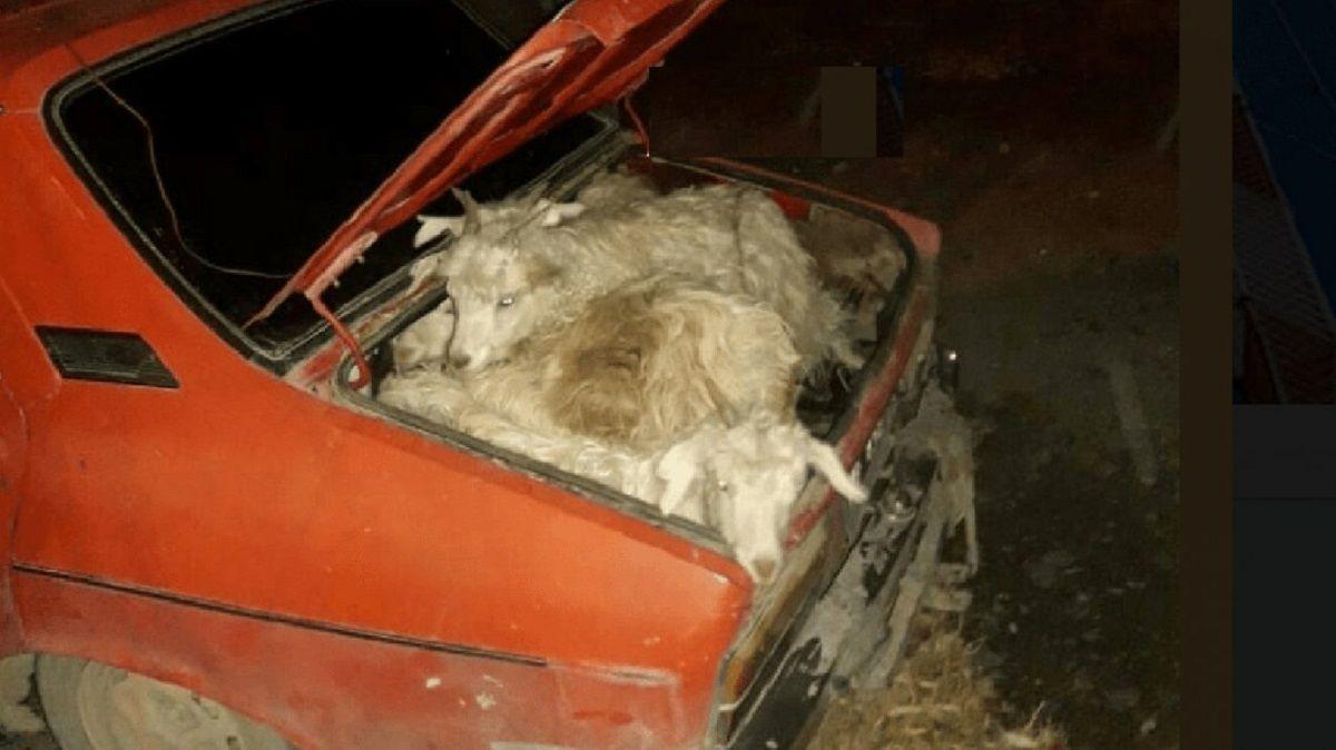 Metió 19 chivos en un auto