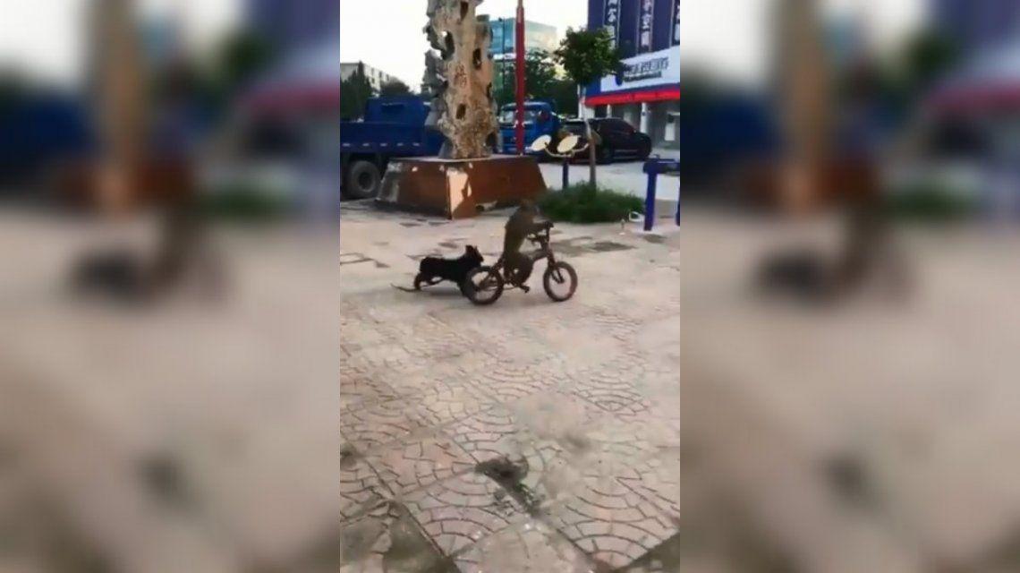 El monito aprendió a andar en bicicleta para salir corriendo