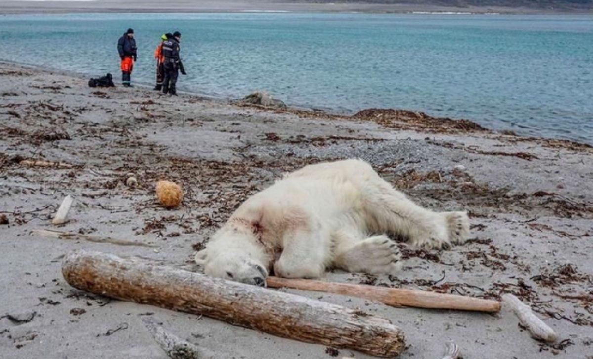 Noruega: mataron a un oso polar que atacó a un guía turístico