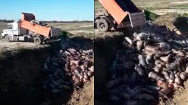 Cientos de cerdos murieron asfixiados por un error en un criadero de Santa Fe