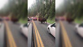 El hombre pretendió hacerle frente a un bisonte en Yellowstone