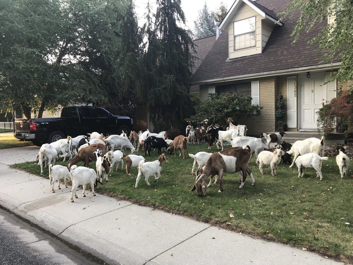 Se escaparon de su dueño y cortaron el pasto de todo el barrio