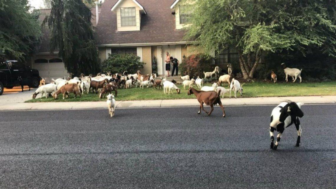 Las cabras son maestras del escape según su dueño