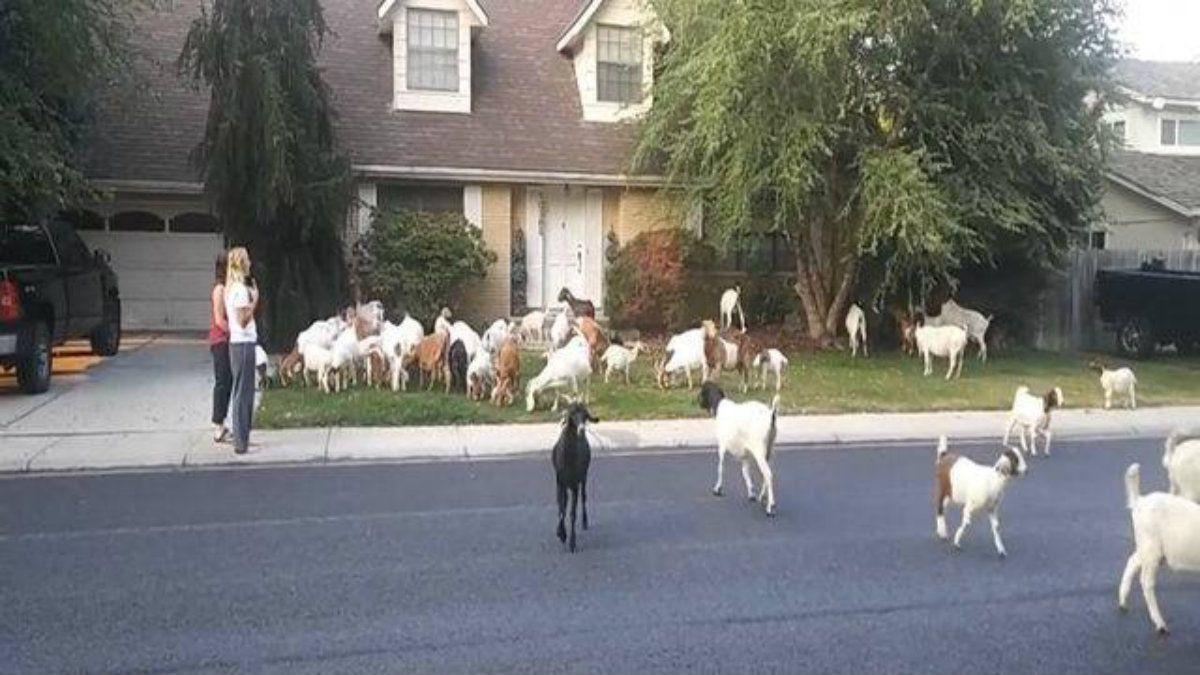 Las cabras hacendosas cubrieron mucho más que el terreno que les correspondía