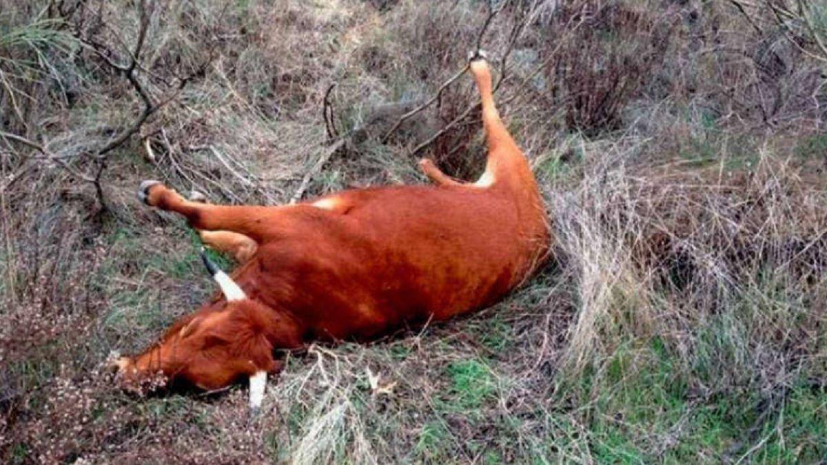 Misterio por las vacas sin lengua: apareció ganado mutilado con precisión láser
