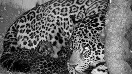 Luego de 70 años nacieron dos cachorros de yaguareté en Iberá