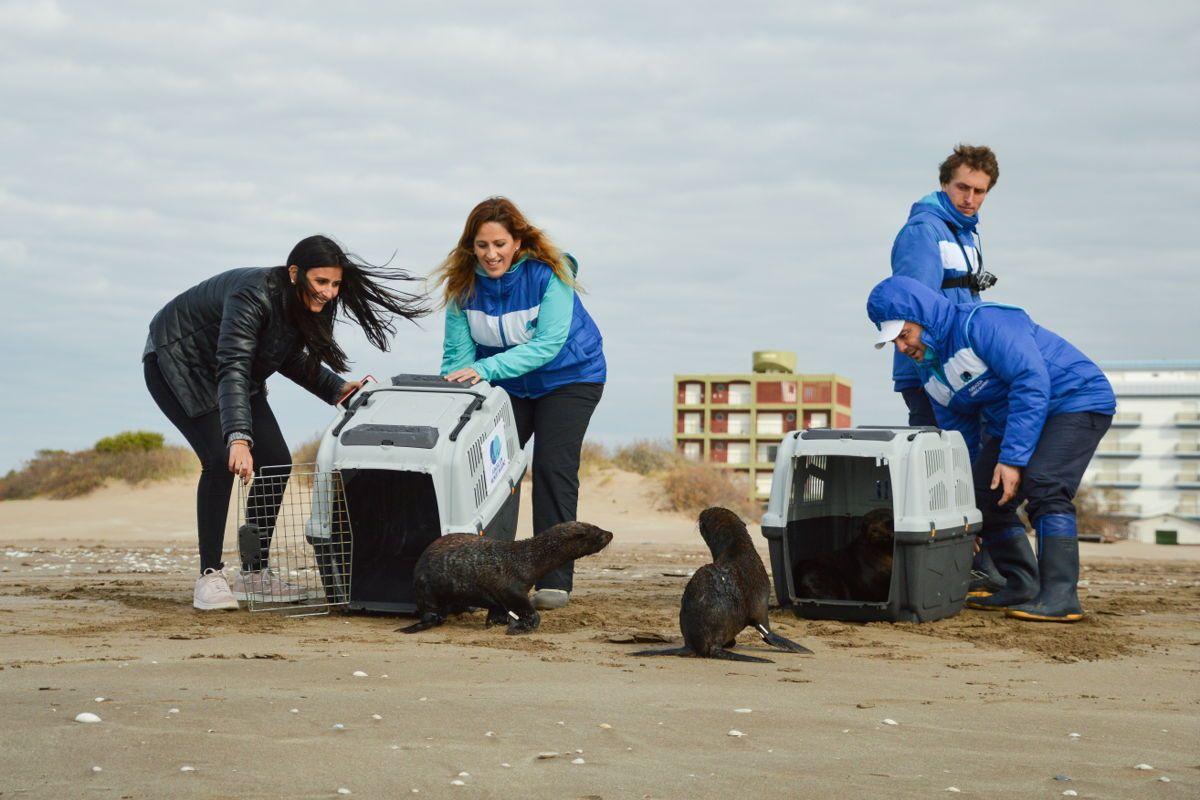 Los lobos marinos de dos pelos sudamericanos habían sido rescatados en estado de desnutrición