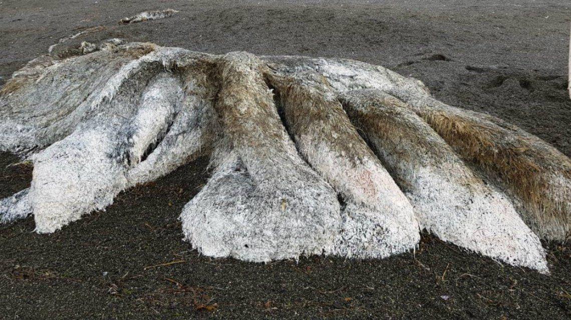 El monstruo marino podría ser el cadáver de un calamar