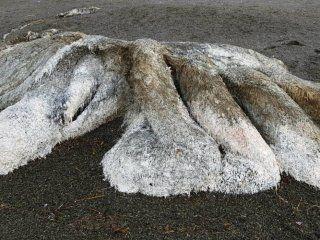 El monstruo marino podría ser el cadáver de un calamar, o algo muy distinto y único en su especie