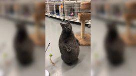 Bruno es un gato extra y por eso le costó conseguir familia, pero ahora la encontró, fama mediante