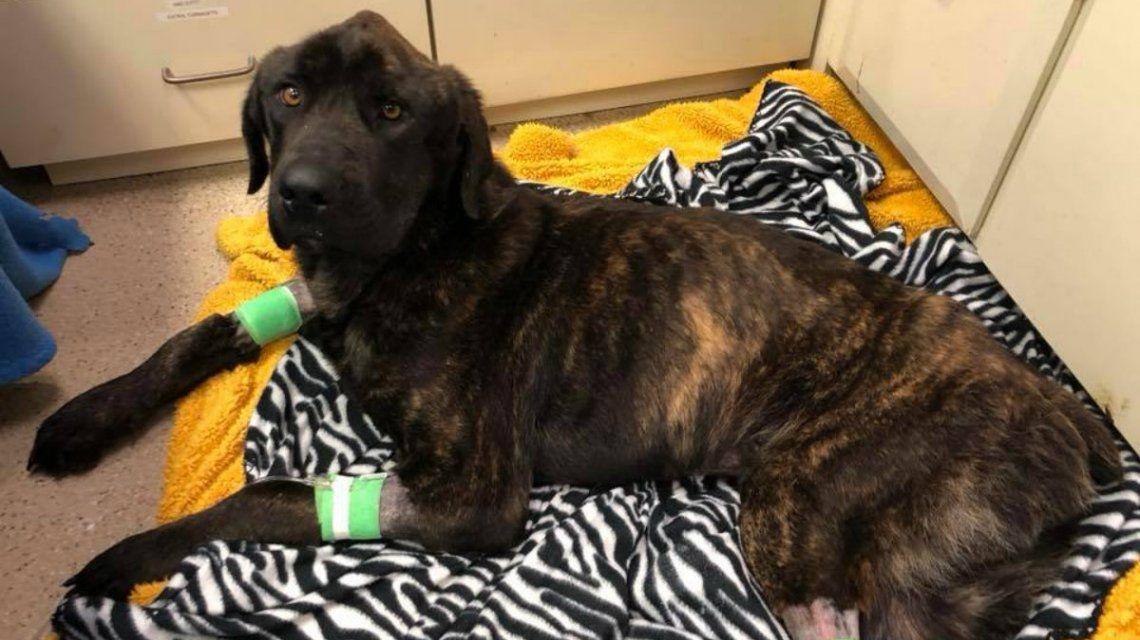 El perro fue abandonado por su dueño y maltratado por su dueña