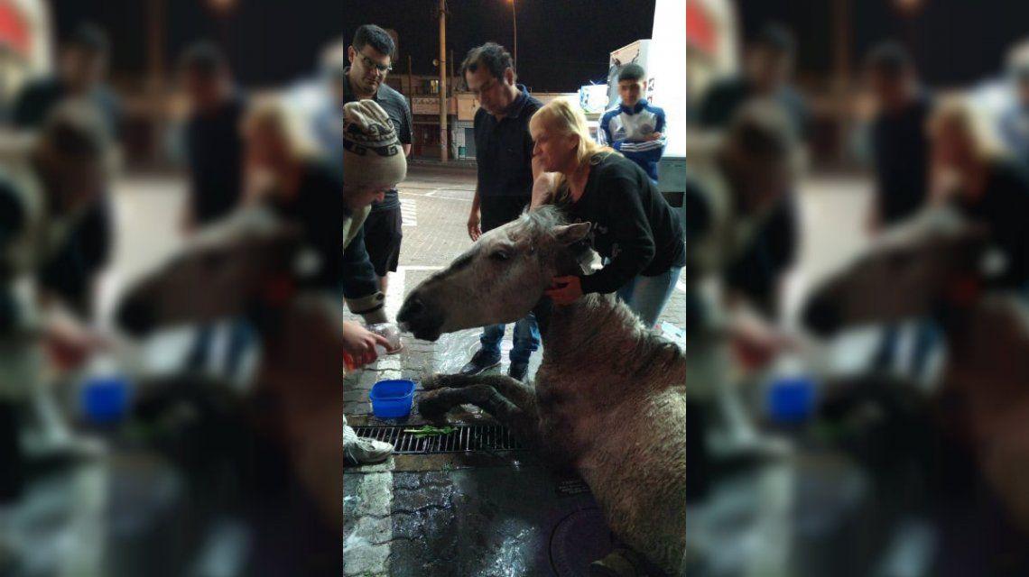 Córdoba: salvaron a un caballo que se desplomó en medio de la calle